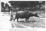 Water buffalo plowing rice paddy, Philippines,  n.d.