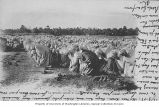 Group of Muslims performing Salat in a field, Algeria, ca. 1903
