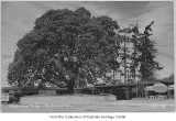 Madrona tree at Bellevue Square, Bellevue, ca. 1950