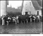 Cattle show at Hollywood Farm, Woodinville, November 19, 1918