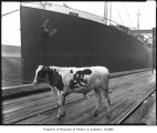 Bull on dock near ship, probably in Seattle, ca. 1919