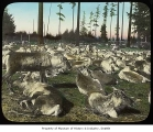 Reindeer in Woodland Park, Seattle, 1898