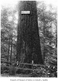 Large tree in Ravenna Park, Seattle, ca. 1911