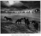 Horses in misty field, Woodinville, October 1964