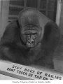 Bobo the gorilla at Woodland Park Zoo, Seattle, 1966