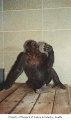 Bobo the gorilla at Woodland Park Zoo, Seattle, ca. 1953