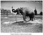 The Asian elephant Wide Awake takes a drink from a sprinkler, Woodland Park Zoo, Seattle, 1935