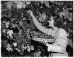 A woman harvests grapes on Charles Somers' vineyard, Stretch Island, Washington, 1943
