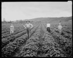 Strawberry pickers in the field, ca. 1921