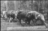 Logging with oxen, Redmond, Washington, ca. 1910s