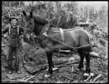 A logger and his horse, ca. 1905