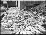 Four thousand salmon on dock, ca. 1905