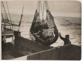 Halibut fishing, hoisting a net of fish, ca. 1920