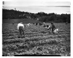 First Nations workers picking strawberries, June 1943