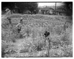 Victory garden in Wallingford, August 1944