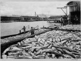 Puget Sound salmon catch, ca. 1900