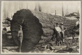 Fir log at Huron Lumber Company, Bothell, Washington, ca. 1895