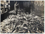 10,000 salmon on cannery wharf and Chinese worker, ca. 1900