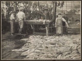 """Iron Chink"" at work in Pacific American Fisheries cannery, 1905"