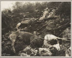 Dead horses on White Pass Trail, 1898