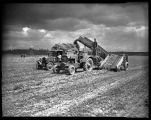Mexican farm workers harvesting hay, Skagit Valley, 1943