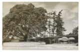 Madrona tree in front of the Crabapple Restaurant, Bellevue, ca. 1950