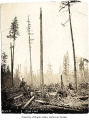 High lead logging at Maple Valley, 1906