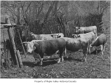 Cattle on Lagesson farm, Maple Valley, ca. 1950
