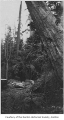 Old growth tree falling near Panther Lake, Kent, 1923
