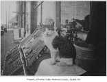 Growler, Phalen Grocery's resident cat, Seattle, June 1908