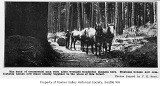 Horses hauling logs at Columbia Mill, Columbia, July 15, 1891