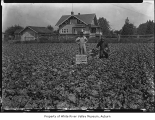 Lettuce Field with a man in a gorilla suit, Kent, 1934