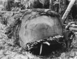 Butt of an old-growth Douglas fir 10 feet in diameter with man standing next to it, logging...