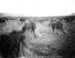 Flax field, Whatcom Co., Washington, 1893