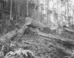 Logs waiting for removal, Pierce County, ca. 1904