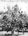 Man picking pears from tree in orchard, Yakima Valley,  1910