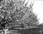 Looking down a row of flowering trees in orchard, Yakima Valley, ca. 1910s