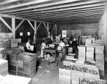 Men and women packing apples into Wright Fruit Co. boxes, North Yakima, ca. 1910s