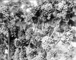 Bunches of grapes on the vine, Yakima Valley, ca. 1910s