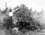Woman picking winesap apples from tree bending towards earth due to weight of its fruit, Yakima...