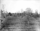 Flowering orchard trees with farmhouse, Yakima Valley, ca. 1910s