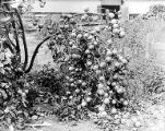 Winesap apple tree bent toward earth due to weight of its fruit, Yakima Valley, ca. 1910s