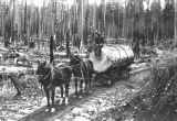 Horse-drawn tram hauling logs, Enumclaw, Washington, n.d.