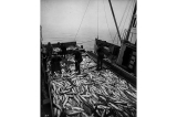 Scow load of salmon being towed toward cannery, Pacific Coast, n.d.