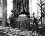 Loggers on springboards undercutting a tree with felling axes, probably Pacific Northwest, n.d.