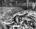 Salmon catch on unidentified fish cannery floor, probably Washington, ca. 1913
