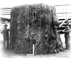 Fashioning a house out of a stump, Larson Lumber Co. mills, Bellingham, Washington, ca. 1903