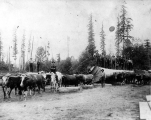 Oxen team hauling logs near Bucoda, Washington, ca. 1895