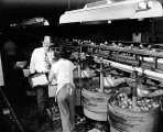 Packing apples, unidentified fruit processing plant, Wenatchee, Washington, 1951