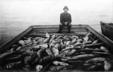 Fisherman with scow load of salmon, probably Puget Sound, n.d.